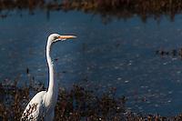 A Great egret eyes the visitors along the wetlands at the Hayward Regional Shoreline along San Francisco Bay's eastern shores.