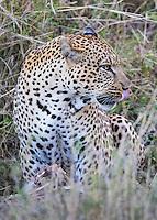 Leopard Profile  Kenya 2015