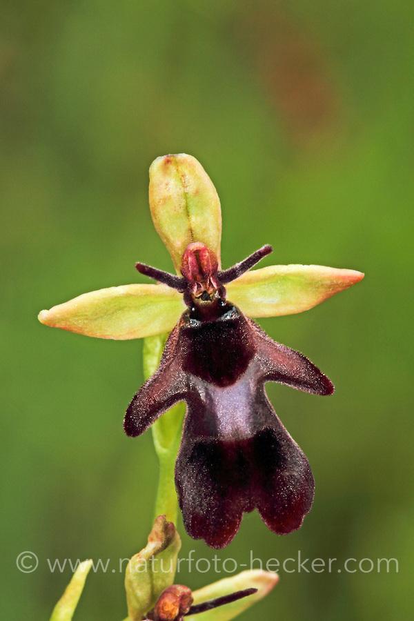 Fliegen-Ragwurz, Fliegenragwurz, Ophrys insectifera, Ophrys myodes, fly orchid, L'Ophrys mouche, Ragwurzen, Kerfstendel, Mimikry, Lockmimikry