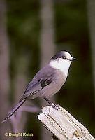 1J01-001z -  Gray Jay - Perisoreus canadensis