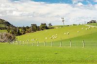 Farmland with sheep near Purakaunui Falls, Catlins, Southland, New Zealand
