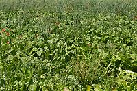 19.7.2021 Organic Fodder Beet<br /> ©Tim Scrivener Photographer 07850 303986<br />      ....Covering Agriculture In The UK....