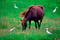 Grazing horse surrounded by birds