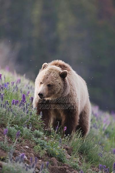 Grizzly Bear (Ursus arctos horribilis), adult in Purple Fringe (Phacelia sericea) flowers, Yellowstone National Park, Wyoming, USA