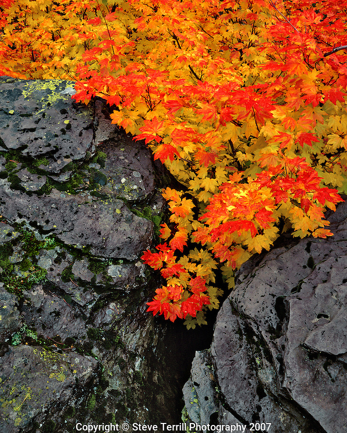 Wild vine maple trees grow between basalt boulders in Mt. Hood National Forest, Oregon