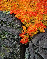 Wild vine maple trees grow between basalt boulders in Mt. Hood National Forest, Oregon