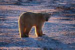 Polar bear backlit by the setting sun