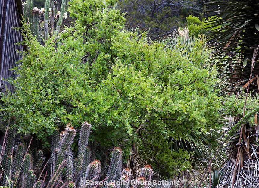Rhus microphylla - Littleleaf Sumac shrub in University of California Berkeley Botanical Garden