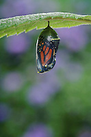 MONARCH BUTTERFLY life cycle..Chrysalis on Joe-Pye Weed leaf. .North America. (Danaus plexippus).