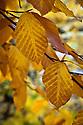 Autumn foliage of Oriental beech (Fagus orientalis), early November.