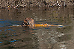 A beaver swims through a pond with a tree trunk in Denali National Park, Alaska.