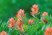 Indian Paintbrush,Castilleja miniata, Ouray, San Juan Mountains, Rocky Mountains, Colorado, USA, July 2007
