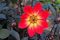 Dahlia 'Happy Single Flame', red perennial flower with dark black purple foliage leaves