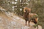 Mountain Goats and Bighorn Sheep