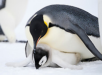 Snow Hill Island, Antarctica. Emperor penguin parent falls over ontop of its chick to protect it from the attempt by another female to kidnap the chick.