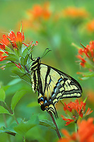 Western Tiger Swallowtail (Papilio rutulus) on Indian Paintbrush.  Western U.S.