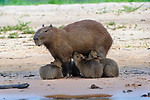 Female Capybara (Hydrochaeris hydrochaeris) (world's largest rodent) suckling a litter of pups. Banks of the Cuiaba River, Pantanal, Brazil.