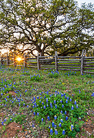 Texas Bluebonnet Landscape Vertical - Another capture of this wood fence with bluebonnets, the oak tree at sunset which creates this wonderful wildflower landscape in the texas Hill country in a vertical format. The bluebonnet were growing in front of this wonderful old oak tree as the sunsets through the fence with these nice sun rays cast their light over the flowers. Spring is here and the bluebonnet is the first sign that it is here. We have traveled the backroads of the hill country always searching for good locations and today we found another good spot for the perfect texas bluebonnet landscape. In Texas the bluebonnet along with other wildflowers start coming out in the southern central part of the state first in Feb and slowly move north through May. Then we have the summer wildflower that start popping up but most consider the bluebonnet as the main attraction if we can find other flowers that even better but we gotta see the blue bonnets or we feel empty.