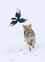 One of my favorite parts of the coyote/fox encounter was the constant chase between the coyote and scavenging Black-billed Magpies. A Bald Eagle also swooped in at one point to grab a scrap of food.