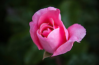 The curving, undulating layers of rose petals fold together into a blossom floating against a soft green background.