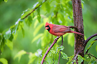 northern cardinal, Cardinalis cardinalis, male, perched in cherry tree, in spring rain, Nova Scotia, Canada