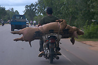 CAMBODIA 2007,ON THE ROAD BIKE AND LIFE PIG FOR THE MARKET