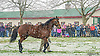 Bourbon Courage at Heritage Stallions Open House on 1/17/15