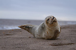 """Pictured:    A young seal pup lies on a beach and sticks its tongue out.<br /> <br /> The common seal rolls around on the shore and appears to pose for the camera while waiting for its mother to return from with food.<br /> <br /> Amateur photographer Chris Hobbs captured the endearing pictures on Mablethorpe beach in Lincolnshire.<br /> <br /> The 36-year-old from Bedford, Bedfordshire, said: """"Whilst walking back down the beach I came across this little guy laying down. SEE OUR COPY FOR FULL DETAILS.<br /> <br /> <br /> Please byline: Chris Hobbs/Solent News<br /> <br /> © Chris Hobbs/Solent News & Photo Agency<br /> UK +44 (0) 2380 458800"""