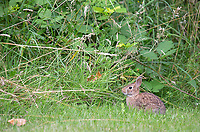 The eastern cottontail is probably the most common wild lagomorph seen in western Washington, including residential areas.
