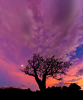 Wiliwili Tree: The full moon rises in the nook of this wiliwili tree in Waikoloa Village, Big Island; ultra dramatic pink and purple clouds are the remnants of Tropical Storm Iselle.