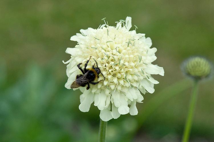 Bee on scabiosa songorica, mid June.