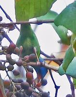 Female blue dacnis