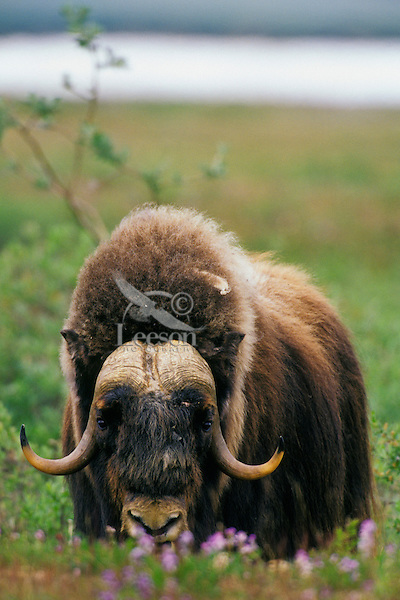 MB437  Muskox bull in arctic wildflowers.  Arctic National Wildlife Refuge, Alaska.  July.