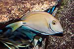 ocean surgeonfish swimming right