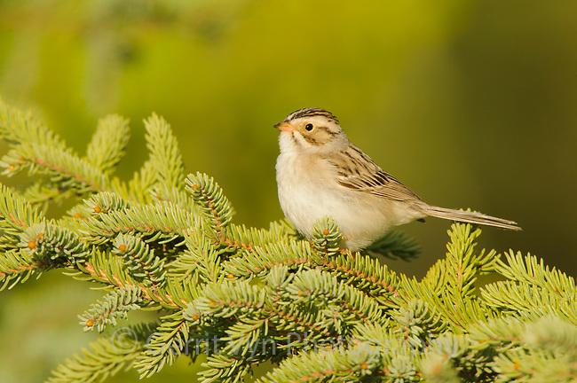 Adult Clay-colored Sparrow (Spizella pallida). Alberta, Canada. May.
