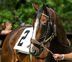 23 May 09: Miss Crown before The Valentine Memorial Sport of Queen's Stakes at the Fair Hill Steeplechase Races in Maryland