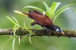 Male Montezuma oropendola (Psaracolius montezuma) in rainforest canopy. Boca Tapada, Costa Rica.