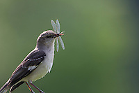 Northern Mockingbird (Mimus polyglottos polyglottos), parent with a dragonfly for it's young at the Great Swamp National Wildlife Refuge in Basking Ridge, New Jersey.