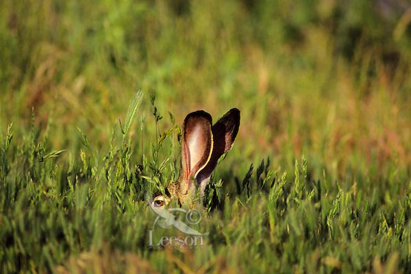 Black-tailed jackrabbit (Lepus californicus).  Western U.S.