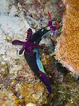 Nembrotha chamberlaini nudibranch, Bohol, Philippines 2016