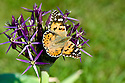 Painted lady butterfly (Vanessa (Cynthia) cardui) on Allium christophii, late May.
