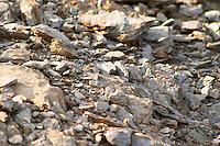 Domaine la Tour Vieille. Collioure. Roussillon. Terroir soil. France. Europe. Vineyard. Schist. Soil with stones rocks. Schist slate soil.