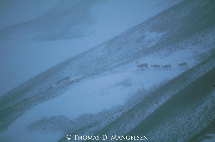 Caribou traveling over ridges of the Alaskan range in Denali National Park, Alaska.