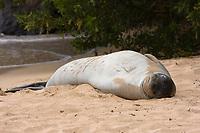 A Hawaiian monk seal, Neomonachus schauinslandi, (endemic and endangered) rests in the sand in Kapalua Bay, Maui, Hawaii.