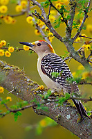 Golden-fronted Woodpecker (Melanerpes aurifrons) in huisache tree, Texas.  March.