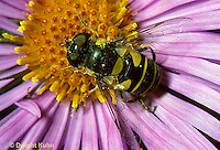 1D03-022z   Flower Fly - (Hover Fly) - adult on Aster flower