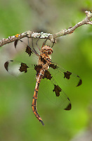 310920006 a wild female prince baskettail epitheca princeps perches on a small branch in southeast regional park austin travis county texas
