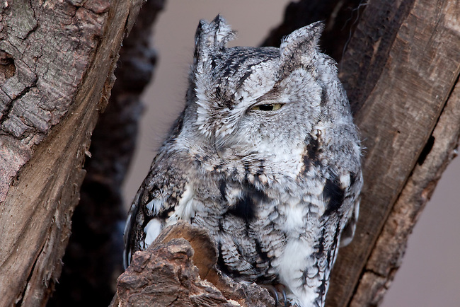 An Eastern Screech Owl rests during the day in New York City's Central Park, hidden in plain sight alongside a busy pedestrian path.