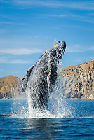 Humpback whale (megaptera novaeangliae) Gulf of California.A breaching humpback., Baja California, Mexico, Pacific Ocean