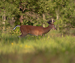 Young white-tailed buck walking in at the forest's edge in northern Wisconsin.